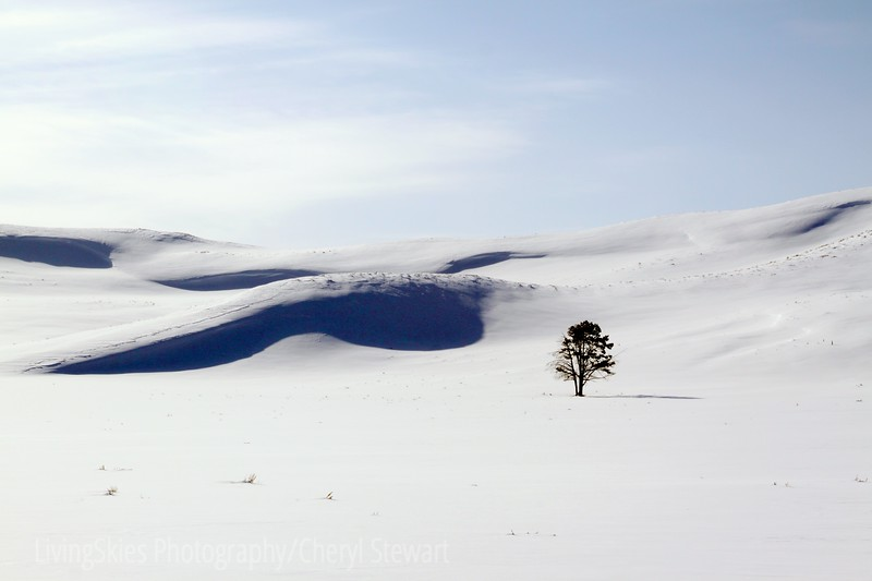 Lone tree in Yellowstone National Park