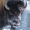 Bison in frost, Yellowstone Park