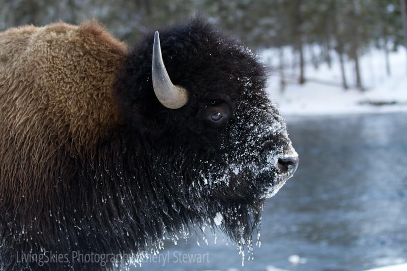 Bison in winter frost, YNP