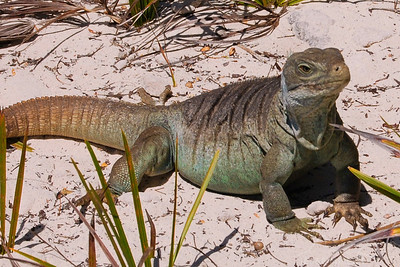 Iguana at Little Water Cay in Turks and Caicos