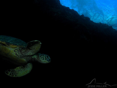 Honu (Sea Turtle): Shark's Cove, North Shore of Oahu