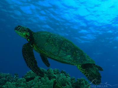 Honu (Sea Turtle): Place of Refuge in Kona, Hawaii