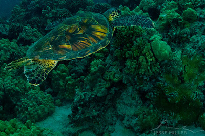Honu (Sea Turtle): Puako, Kona Coast of Hawaii