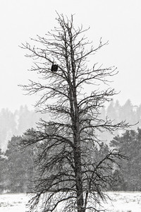 Bald Eagle in Wyoming
