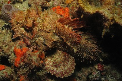 Scorpionfish: Juno Ledge near West Palm Beach, Florida
