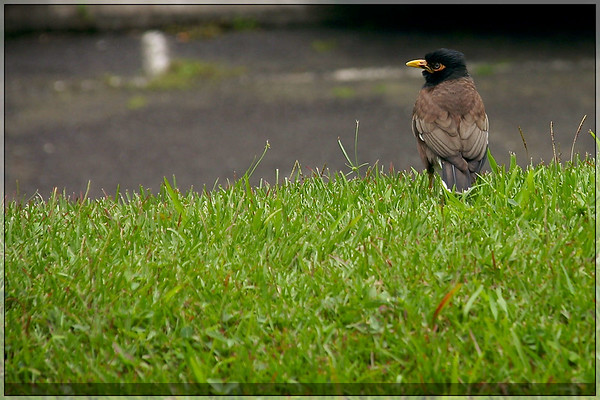 A Myna bird.  These things were everywhere on the island, but they were extremely hard to photograph because they rarely stood still.