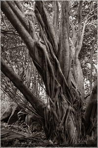 I loved this picture.  This is a relatively small banyan tree (compared to some others I saw on the island), but it's still neat to see.