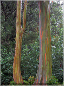 Rainbow eucalyptus trees.  These colors have not been altered in any way.  They were truly this bright.  From what I understand, the rain makes them really pop.