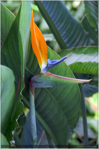 A young Bird of Paradise flower.