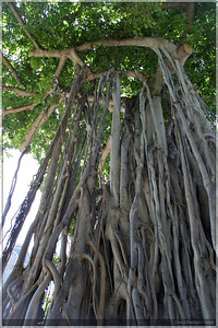 A small banyan tree.  These were quite fascinating and could sometimes get very large.