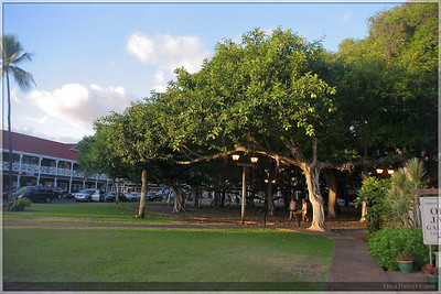 This tree is supposedly the biggest banyan tree in the US.  It's located in Lahaina and is over 50 ft tall and 200ft wide.