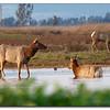 Tule Elk Grizzly Island