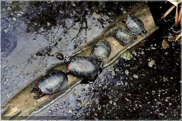 Turtles in the marsh at Jamestown