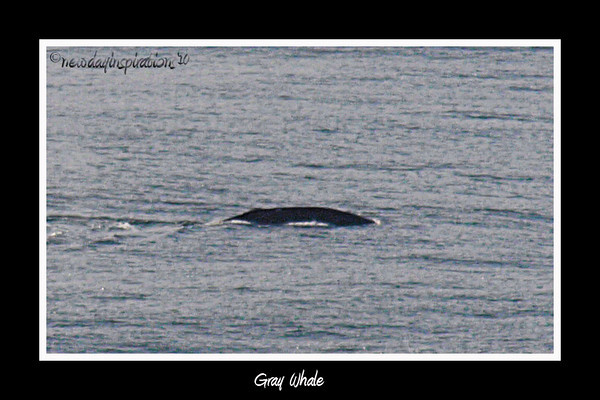 Point Reyes Gray whale