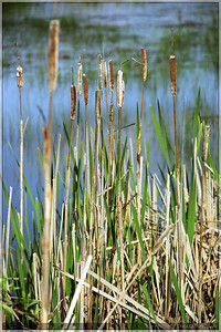 Cat tails were very prevalent along the waterfront.