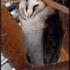Barn Owl Rush Ranch