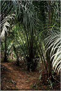 The palm nut trees.  These are relatively young because the nuts are at ground level.
