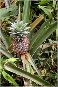 It was not unusual to see pineapple plants growing randomly along the trails.