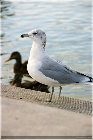 This poor gull only had one foot.  I wonder what his story is.