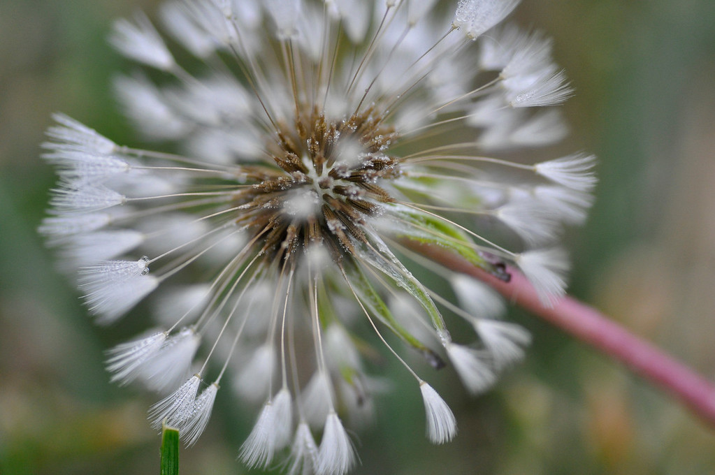 Dandelion seed in Fall - the last to go