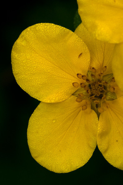 Yellow Flower with Morning Dew