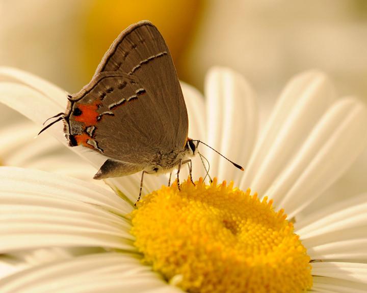 butterfly grey _DSC6174
