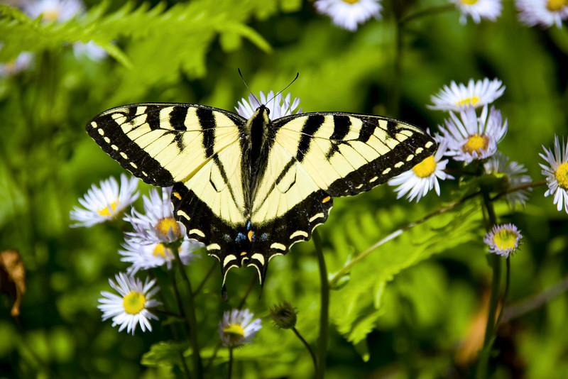 Showy Swallowtail