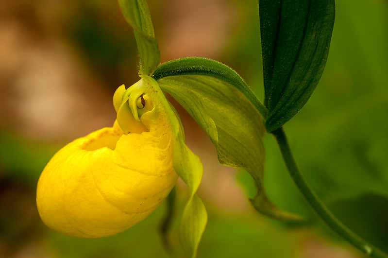 Yellow Lady Slipper - Cary Institute - Millbrook,NY