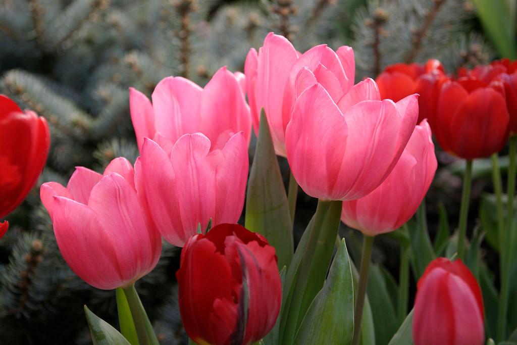 tulips-rz-CRW_6419