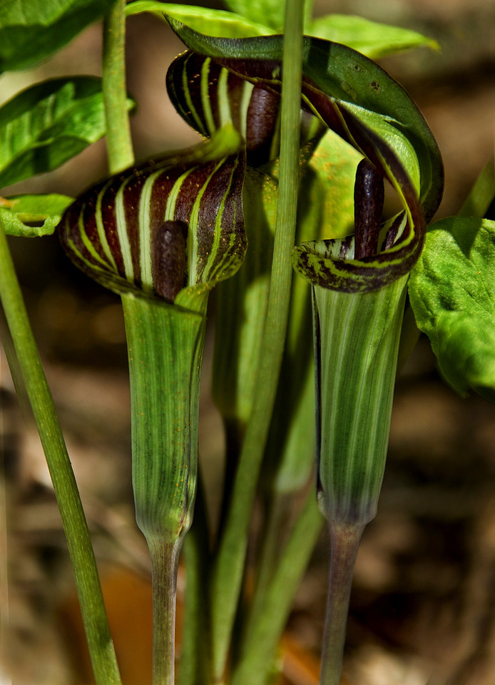 Jack in the Pulpits - rzernitsky