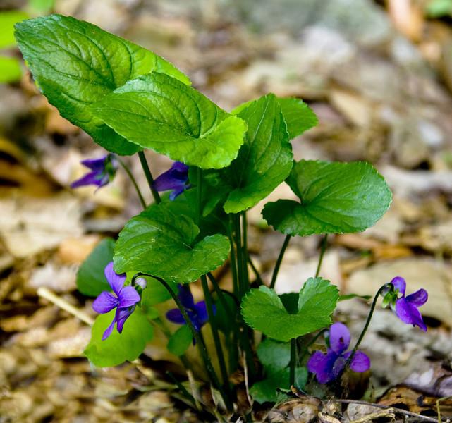 Wild Violet's