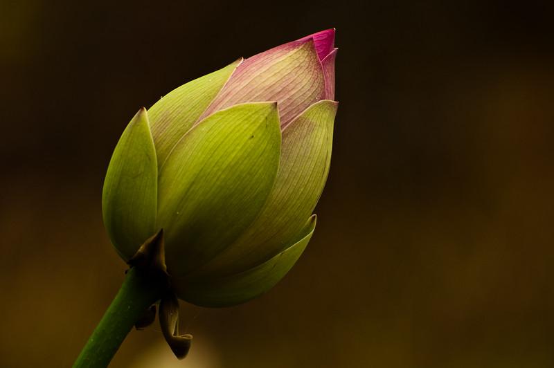 Pond Lotus Flower
