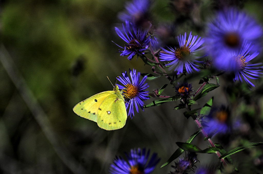 yellow sulphur on purple asters, fall