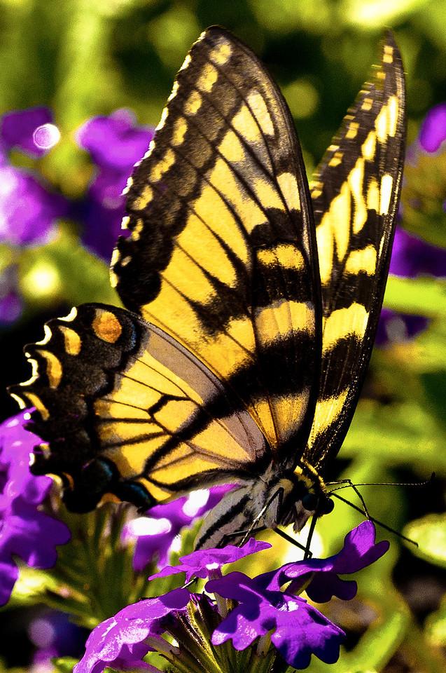 Swallowtail -Tiger
