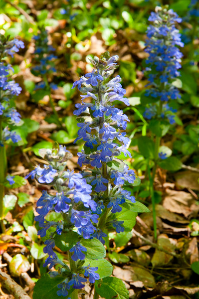 Vipers Bugloss - brought here from the Mediterraean in the 1680's  (Blue Devil or Blue Weed) Massachusettes to Tennessee
