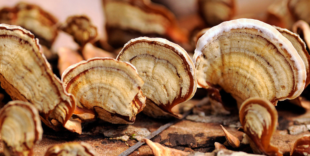 Multicolor Gill Polypore Shelflike Mushrooms