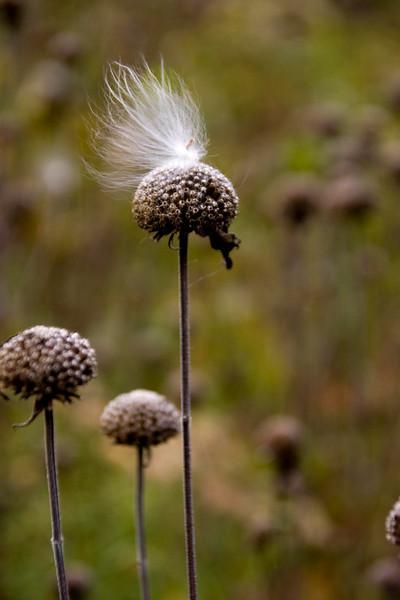 CRW_3818 flyaway hair mp milkweed seed rzernitsky mp trail