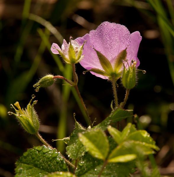Wild Geranium -