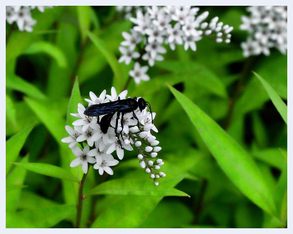 Blue wasp _DSC6001