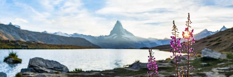 Alpenblumen (Schmalblättriges Weidenröschen) am Stellisee mit Matterhorn