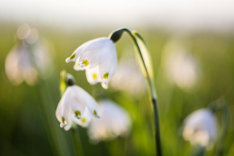 Frühlingsknotenblumen im Korbmacher Ried