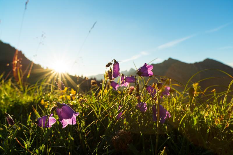 Alpenblumen am Furkajoch