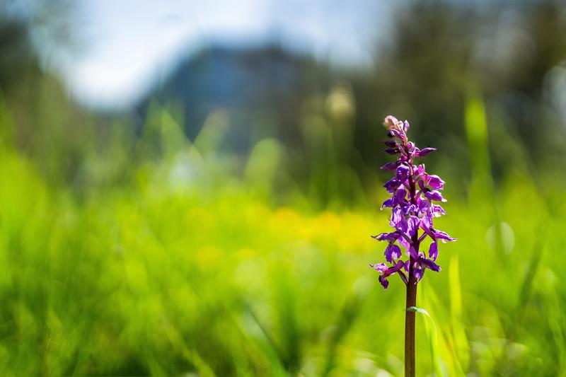 Orchidee Götzer Berg