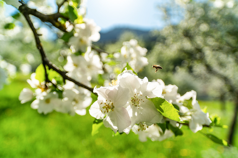Apfelblüte oberhalb von Hohenems
