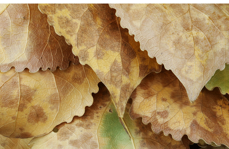 Cottonwood leaves, Zion National Park, Utah