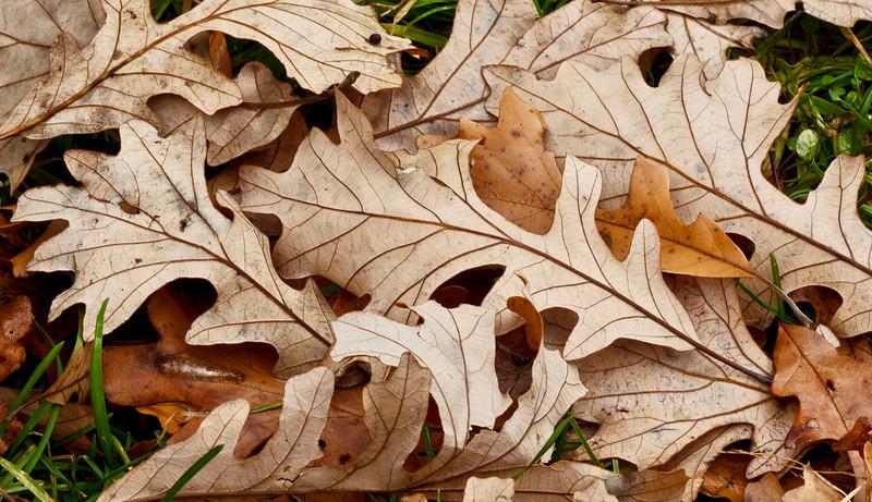 Oak leaves 1, Illinois