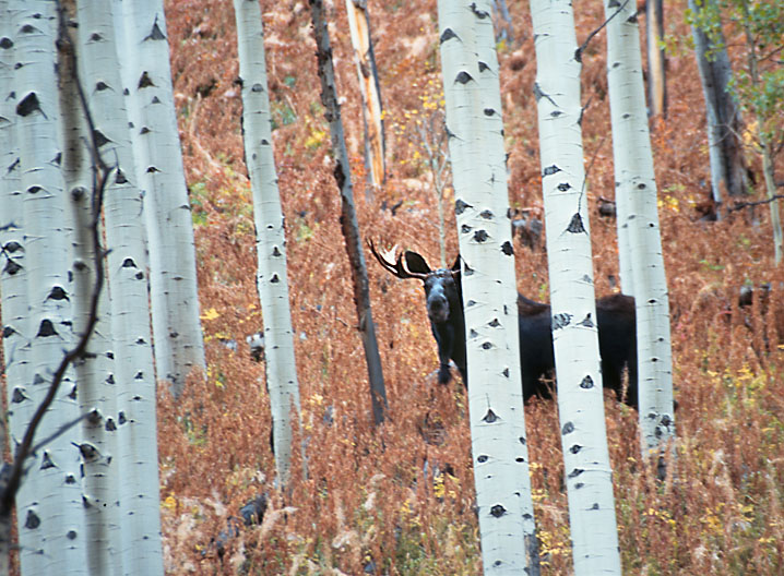 Moose with aspens, Colorado