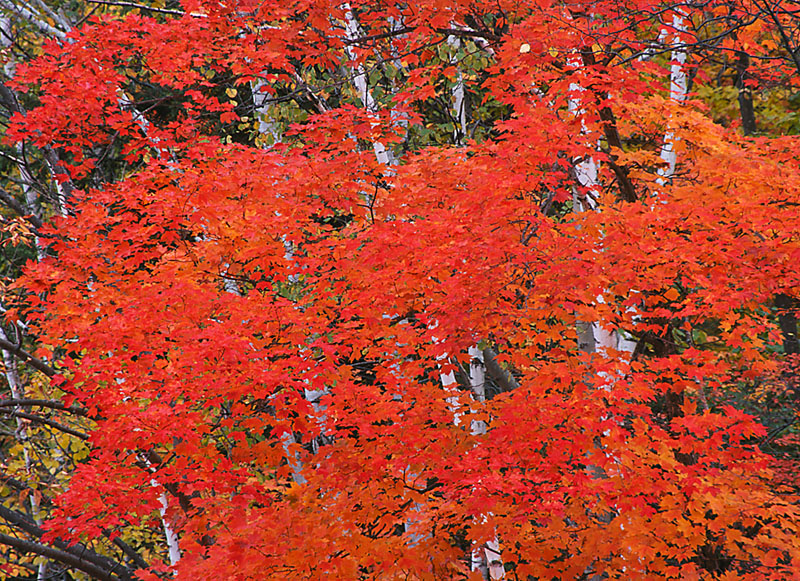 Red maples, New Hampshire