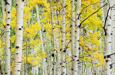 Aspen Glory, Colorado