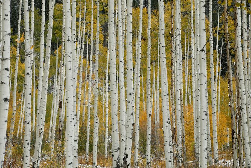Aspens in Colorado, fall color